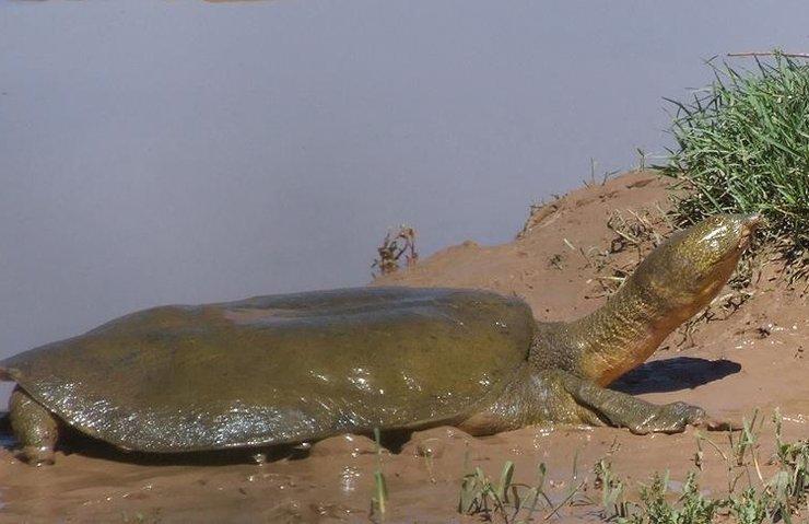 'Fırat kaplumbağaları' uydudan izlenecek