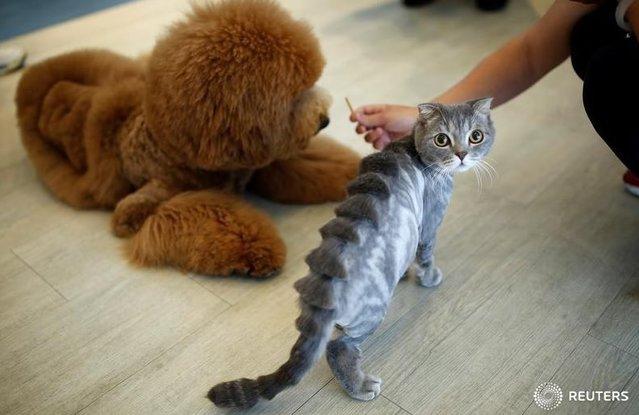 Kedi ve köpeklerin tüyleri, desenli bir şekilde tıraş ediliyor