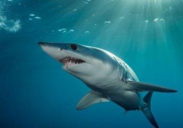 Köpek balıklarının mıknatıs korkusu ortaya çıktı