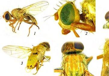 Gaziantep'te yeni bir sinek türü keşfedildi