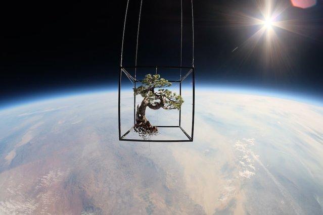 50 yaşındaki bonzai ağacını uzaya yolladılar