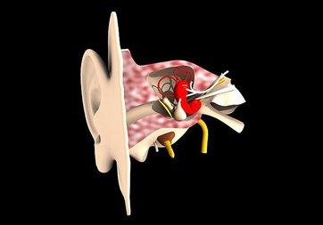 İç kulakta yeni nöronlar bulundu