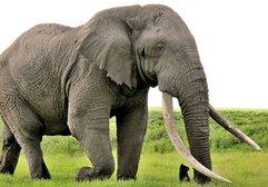 Selfie çekmek isterken fil tarafından ezildi