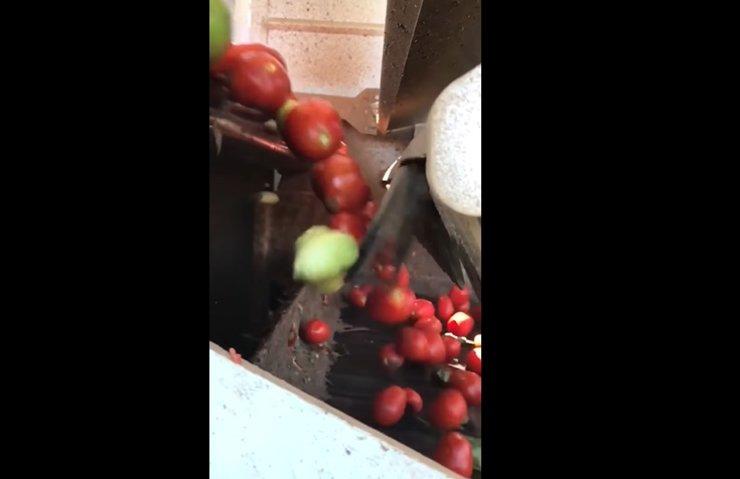 Büyüleyici domates ayırma makinesiyle tanışın!