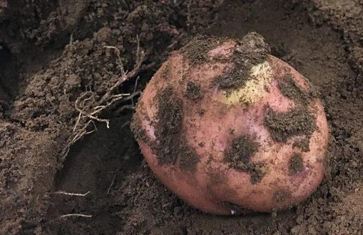 PERU'DA MARS'A YAKIN KOŞULLARDA PATATES YETİŞTİRİLDİ