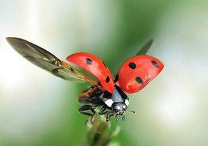 Uğur böceğinin kanatlarındaki sır!