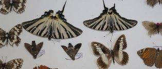 Böcek Müzesi'ne yeni türler kazandırılıyor